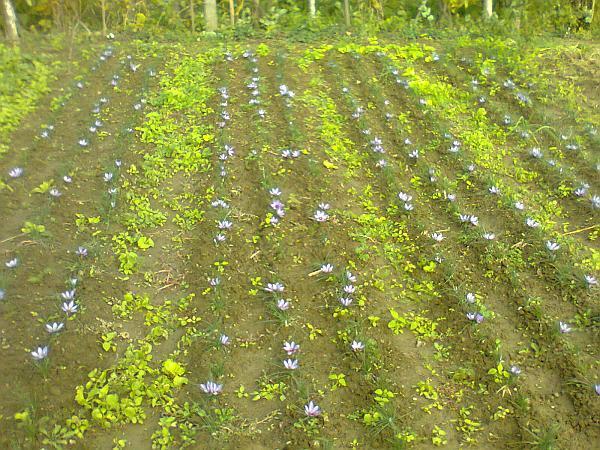 plantantie-de-sofran-in-Romania.jpg